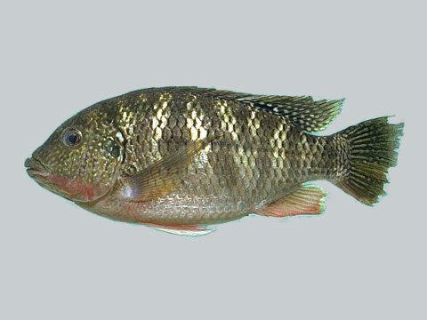 דגים טרייים (גידול בריכות)